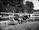 Ostrich farm, Pasadena, Mr. and Mrs. McKinley