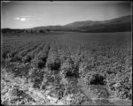 Potatoes on the Sweet Ranch, Carbondale Dist Colo. Midland Ry