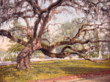 A live oak in Magnolia Cemetery, Charleston, S.C.