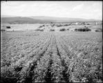 Experimental potatoe [sic] patch, Edgerton Ranch, Carbondale, Colo. Midland Ry.