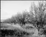 A Grand Valley orchard, Colo. Midland Ry.