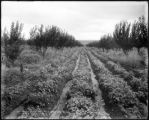 Grand Valley potatoes, Colo. Midland Ry.