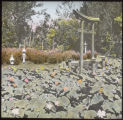 Rose Acres - lotus pond