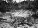 Prince of Wales Island Alaska four of six wolves poisoned at one station.
