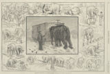 Barnum's elephants in winter-quarters