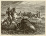 The guardians of the herd, buffalo bulls charging hunters