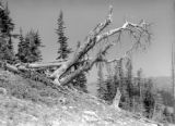 Timberline trees