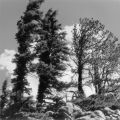 Windswept trees at the summit of Old Monarch Pass