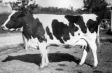 """Virginia"" registered Holstein cow worth $3,00,  belonging to Landreth & Robbins."