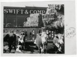 Swift and Company cattle