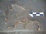 Artifacts from archaeology excavation of History Colorado site: dog skeleton