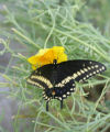 A black swallowtail flutters to a California Poppy flower soon after emerging from its...