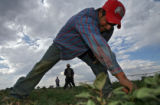 DLM01906   Juan Mendoza clears weeds from a field planted with dill weed along with other...