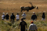 MJM487 An elk bull grazes in Moraine Park at Rocky Mountain National Park Tuesday afternoon as...