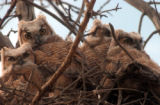 (THORNTON, Colo., May 5, 2004) Four baby Great Horned Owls, stated by a passerby on a motorcycle...