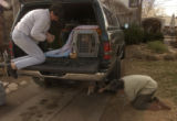 Bonnie Guzman, (cq), kneels on the back of her truck preparing a leash for the rescued dog still...