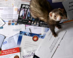 (DENVER, Colo., June 7, 2004)  Mister Miles Hampshire, the pet ferret of April and Kent Hampshire...