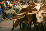 A herd of long-horned steer walk down 17th Ave. in the National Western Stock Show Parade in...