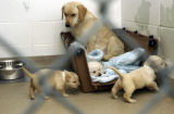 (FT. COLLINS, Colo., July 7, 2004) The cute blonde Labrador Retriever pups are in a litter of...