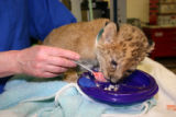 After a difficult start in life, Denver Zoo's seven-week-old lion cub is thriving under the care...