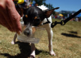 (DENVER COLORADO, July 11,2004)  Dillon, a Toy Fox Terrier, gets a drink of water to cool down  at...