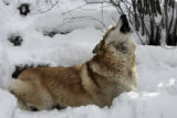 Wolf/dog mix Nugget howls at visitors on Pat and Fred Wendland's wolf sanctuary they have had in...