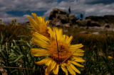 (MOUNT EVANS COLORADO - July 12, 2004 ) It is now the perfect time to view wild flowers, like this...