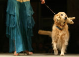 (Denver, Colo., March 18, 2006) Lindsay Russell walks a golden retriever named Ali.  Mutts &...