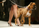 (Denver, Colo., March 18, 2006) Lindsey Koehler and her boxer, Bodhi.  Mutts & Models fashion...