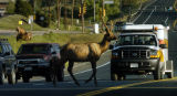 (EVERGREEN COLORADO July 26, 2004)  A young elk was part of a heard that stopped traffic on hwy 74...