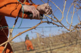 Jeffrey McMillian (CQ), 40,  prunes chardoney grape vines at the East Canon City Complex of...