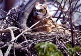 (THORNTON, Colo.,  5/10/04) A baby Great Horned Owl keeps an eye on officers from the Division of...