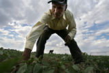 DLM01859   Immigrant worker Isidro De Los Santos Andrede, 62, clears weeds from a field planted...