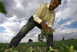 DLM01883   Immigrant worker Isidro De Los Santos Andrede, 62, clears weeds from a field planted...