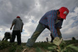 DLM01902   Juan Mendoza clears weeds from a field planted with dill weed along with other...