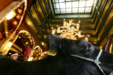 Spud, the Grand Champion Steer, goes on display in the lobby of the Brown Palace Hotel in Denver...