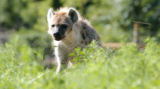 (DENVER, Colo., July 22, 2004)  One of three new spotted hyenas (Crocuta crocuta) walks through...