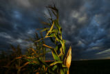 Corn ready for harvest in north east Yuma, Colo., Sept. 26, 2006. Yuma county produces the second...