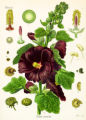SH06J018YARDSMART Oct. 2, 2006 _ Black hollyhock is shown here in full anatomical detail. (SHNS...