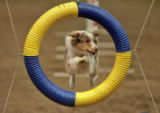 Scooter and Australian Shepherd leaps through a hoop while running a skills cource in the Rocky...