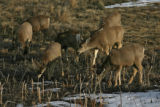 Part of a herd of deer eat in Walnut Creek Tuesday afternoon February 6, 2006 in Broomfield,...