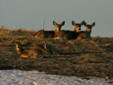 A group of deer bed down for the night on a hill above Walnut Creek Tuesday afternoon February 6,...