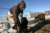 MJM1631  Trying restrain an ill young calf, ranch Bill Wilkinson (cq) prepares to administer a...