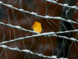 A lone aspen leaf is caught on a frost covered fence on Arapahoe Dr. Tuesday morning October 10,...