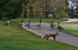 A  Red fox makes its way past some geese in Sloan Lake Park Tuesday morning October 10, 2006 in...