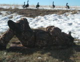 Mike Augustine takes a nap on a slow day for goose hunting Saturday. Sunday, the final day of a...