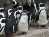Tux, the penguin, center, wears a yellow arm band for identification Tuesday morning, February 13,...