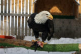 A Bald Eagle sits on its perch, in its cage, Wednesday afternoon, February 14, 2007 at the...