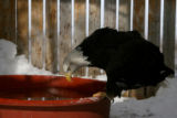 A Bald Eagle gets a drink of water in its cage, Wednesday afternoon, February 14, 2007 at the...