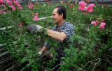 Melchor Ramirez (cq) of Denver picks snapdragons at Priola Greenhouses in Henderson on Tuesday...